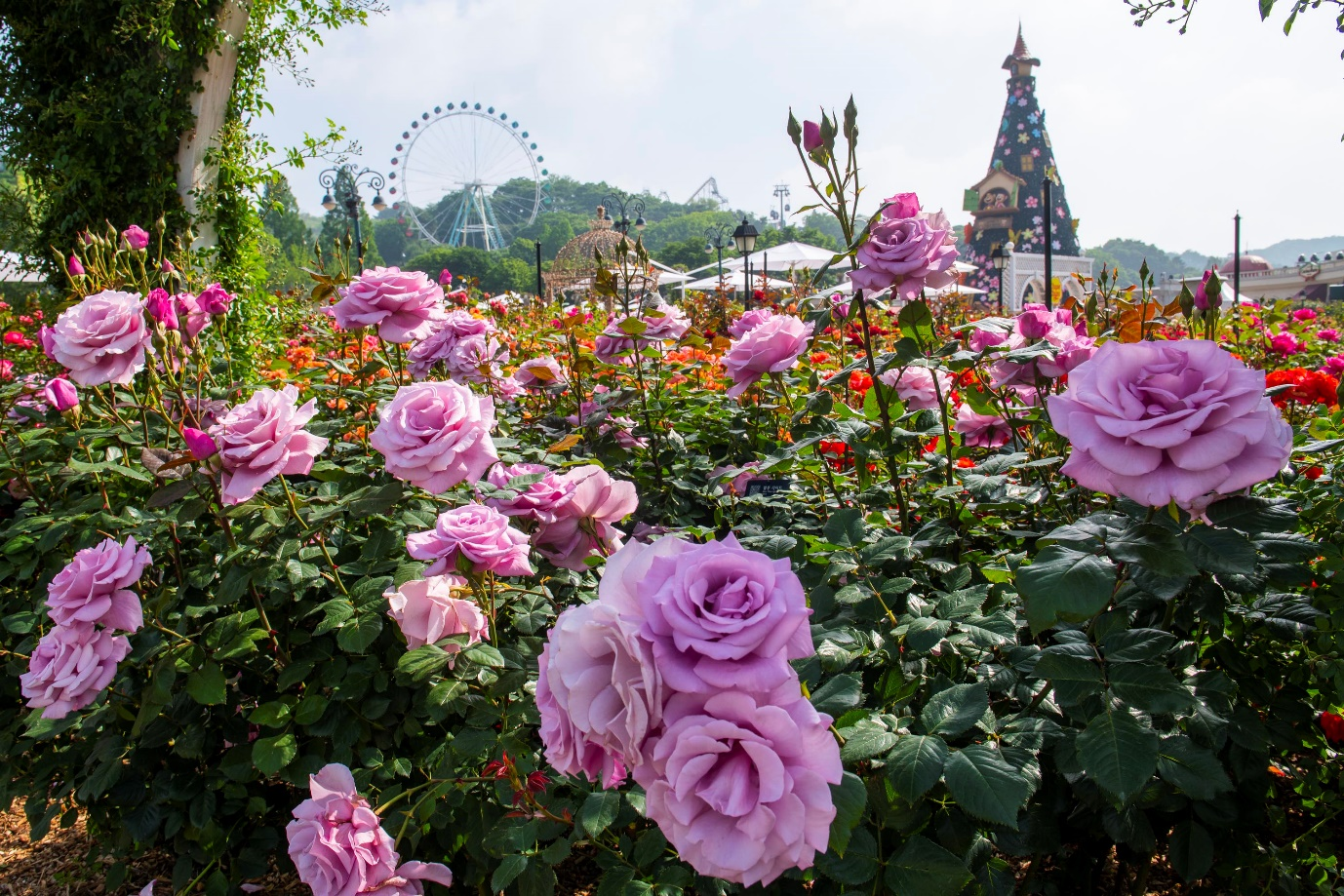 Roses bloom among the attractions of Everland, operated by Samsung C&T Resort Group and located in Yongin, Gyeonggi Province, an hour southeast of Seoul, at its 35th annual Rose Festival that runs from May 17 to June 16 this year.