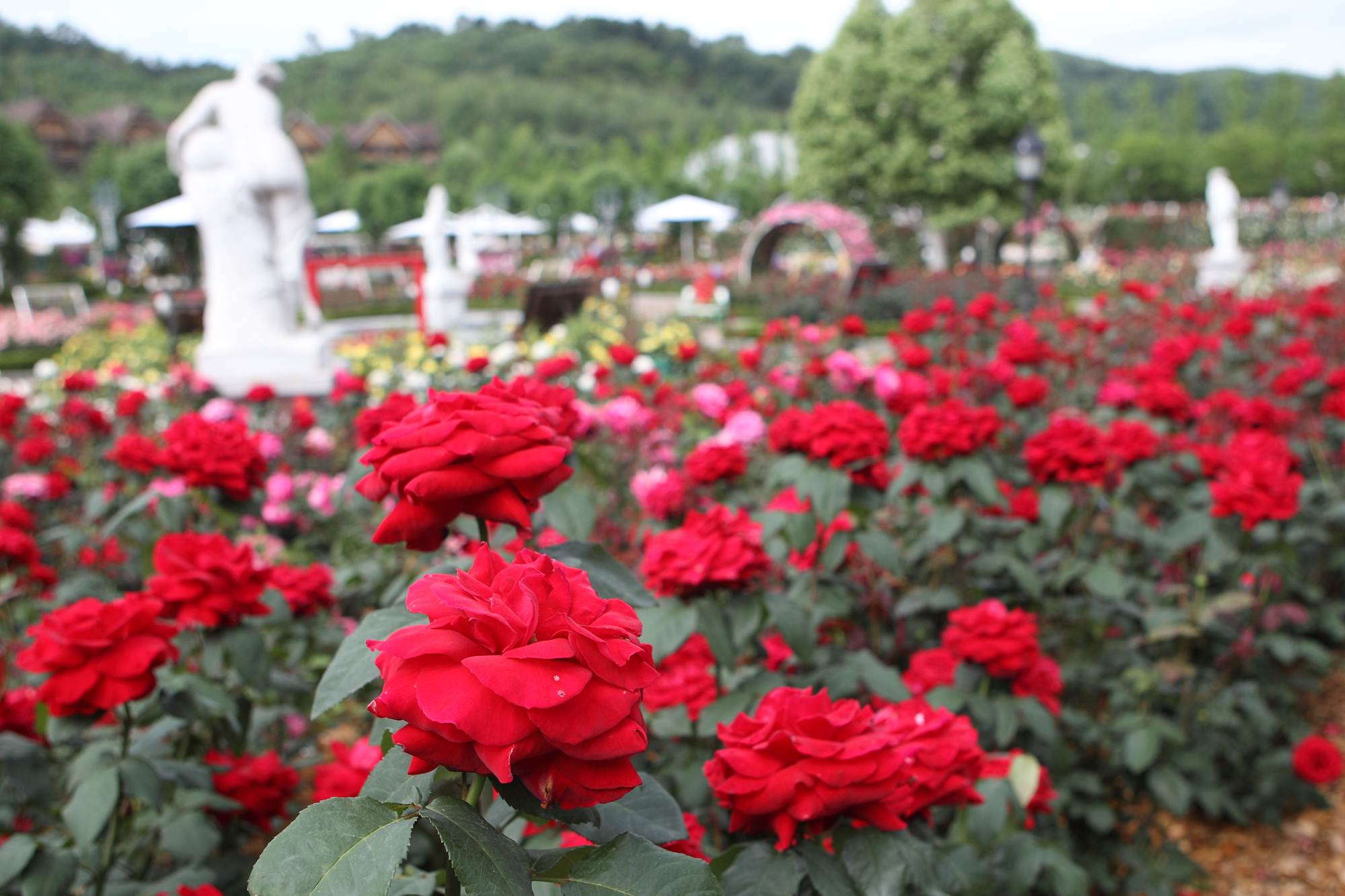 A field of red roses bloom among the attractions of Everland, operated by Samsung C&T Resort Group and located in Yongin, Gyeonggi Province, an hour southeast of Seoul, at its 35th annual Rose Festival that runs from May 17 to June 16 this year.