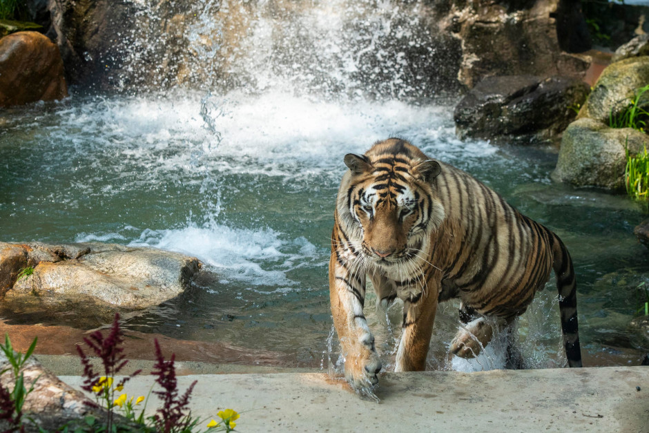 A tiger ambles out of the water. Unlike many cat-like species, tigers enjoy swimming.
