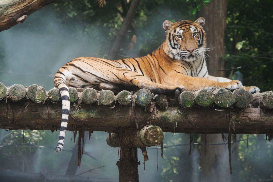 A tiger lounges in a catlike manner on its man-made perch.